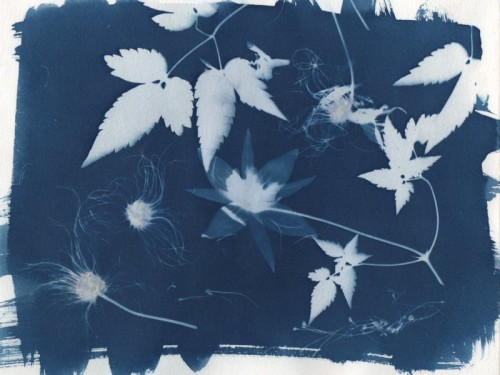 MAY CLEMATIS-Cyanotype