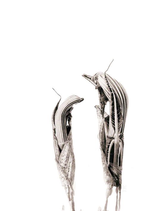 Ink shoots - Arisaema ringens