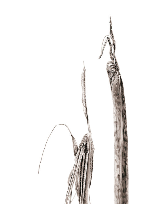 Ink shoots - Arisaema consanguineum
