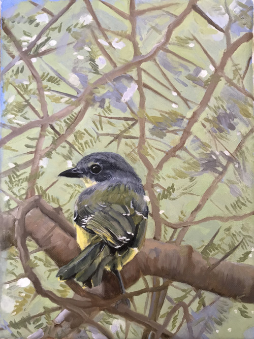 Juvenile Sulphur Breasted Bush Shrike