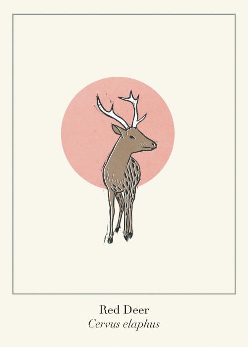 Protected Scottish Wild Animals- Red Deer